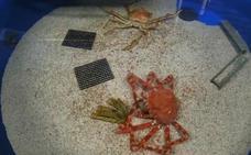 Un curioso vídeo capta a un cangrejo real mientras muda su caparazón