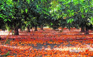 Cae un 16% la exportación de clementinas