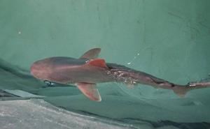 Nace un tiburón gris en el Oceanogràfic