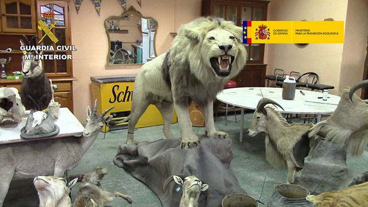 La Guardia Civil interviene en la Comunitat más de 200 piezas disecadas de elefantes, leones y jirafas