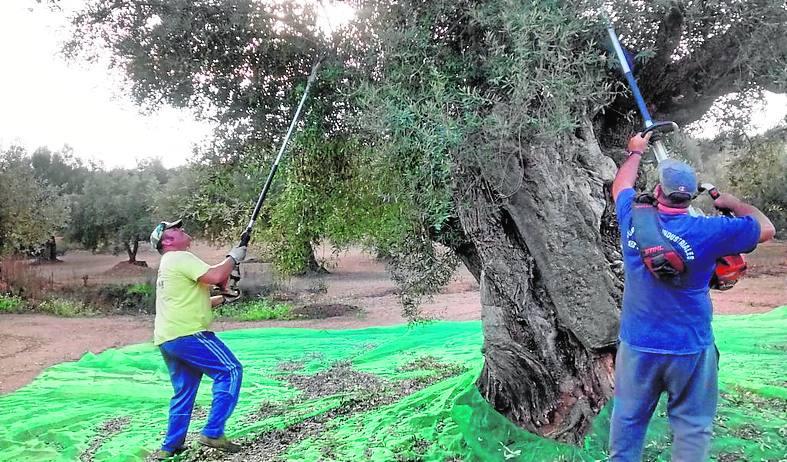 Olivarera Cervol de Traiguera apuesta por el oleoturismo