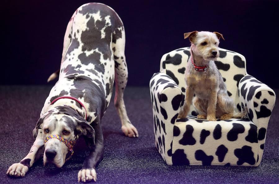 Exposición canina en Birmingham: 22.000 perros participarán en el mayor concurso del mundo