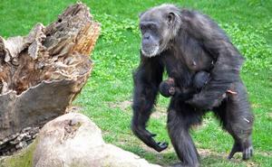 La trágica muerte de los mellizos de chimpancé nacidos en el Bioparc hace un mes