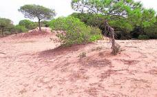 Plantarán casi 100.000 árboles para preservar el hábitat natural de las dunas de Guardamar