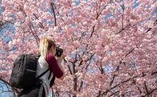Primavera rosa en Japón con la floración del 'sakura'