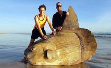 Un pez 'mola mola' gigante encalla en una playa de Australia