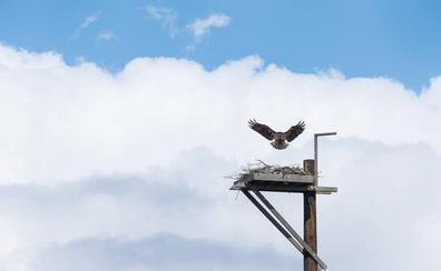 La Albufera quiere recuperar el águila pescadora