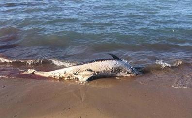 El mar arrastra a la costa de Dénia un delfín muerto