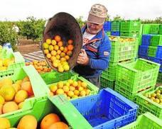 La quiebra en cadena de firmas citrícolas amenaza a más de un millar de agricultores