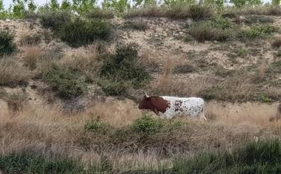 Buscan una vaca brava que se ha escapado de una granja de Alfarp