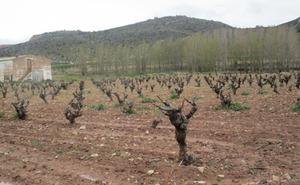 La vid de La Serranía aún no brota pese al anunciado adelanto