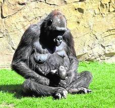 Gorila y macho, así es la última cría nacida en Bioparc Valencia