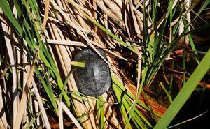 El Ayuntamiento de Catarroja retira tortugas invasoras del Port para evitar su proliferación