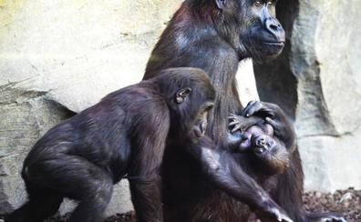 El último bebé en llegar a la familia gorila del Bioparc ya tiene nombre