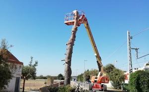 Adiós definitivo al pino de Meliana