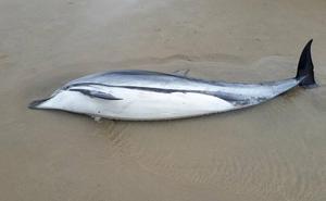 La razón por la que han aparecido 15 delfines muertos en la costa de Cantabria