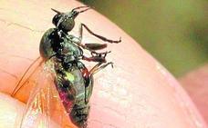 Impulsa más acciones contra el mosquito tigre y la mosca negra