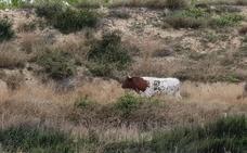 Una vaca se escapa dos veces en 24 horas de un corral y campa por Nules