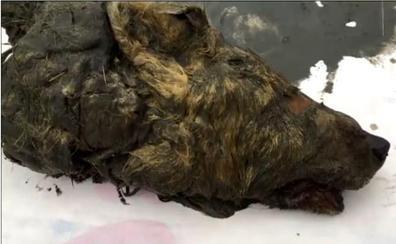 Descubren la cabeza de un lobo gigante de hace 40.000 años