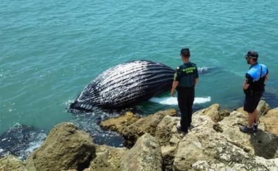 Una ballena acaba varada en la escollera del puerto de Gandia