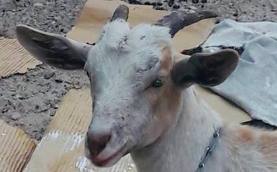Una cabra en la ciudad