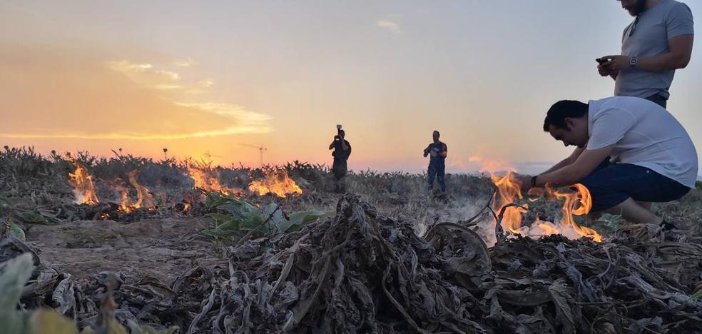Camarena recupera la tradición de la quema de la alcachofa en la huerta valenciana
