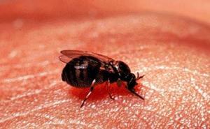 Así es la 'mosca chupasangre' que se expande este verano