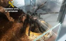 El Seprona descubre un criadero ilegal con más de 400 tarántulas