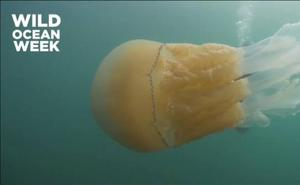 Captan una medusa gigante que se dirige al Mediterráneo