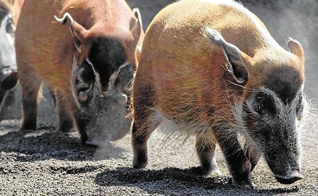 Bioparc amplía los grupos de búfalos rojos y potamoqueros