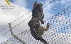 Salvan a un búho real de morir atrapado en un alambre de espino