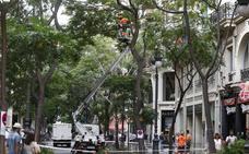 Poda en San Vicente y tala de una palmera protegida en Reino de Valencia
