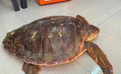 Rescatan a una tortuga boba herida en la cabeza en la costa de Benissa