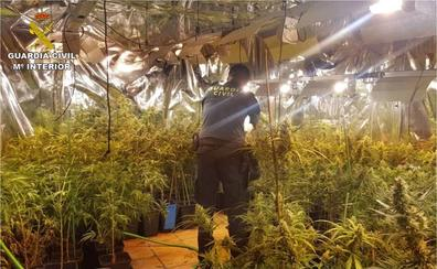 La Guardia Civil detiene a tres personas por plantar en Xàbia 550 plantas de marihuana