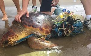 Rescatan una tortuga rodeada de plásticos y residuos en la Malvarrosa