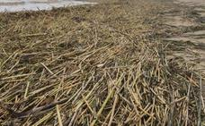 La CHJ atribuye a los ayuntamientos y la Generalitat la limpieza de cañas