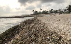 Dénia inicia la retirada de toneladas de cañas y algas que ha dejado el temporal en las playas