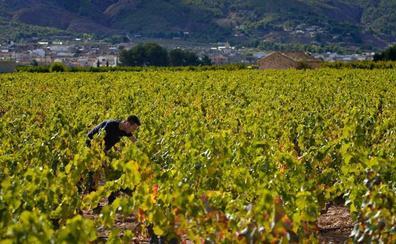 El temporal provoca la pérdida de un tercio de la cosecha de uva del Vinalopó