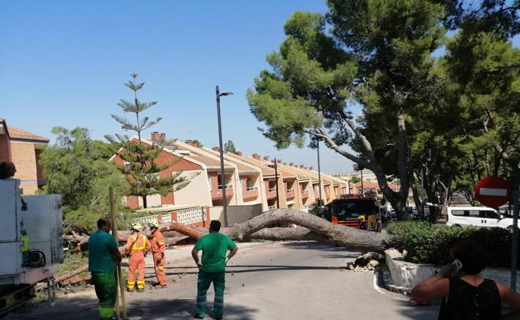 Un pino cae en la avenida del Vedat de Torrent