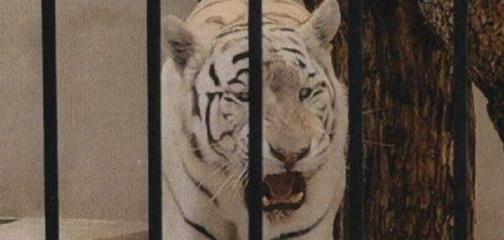 Investigan a los dueños de un chalet que tienen un tigre albino adulto como «mascota de lujo»