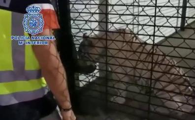 Detienen a la pareja que tenía en su chalé a un tigre albino como mascota por tráfico de drogas