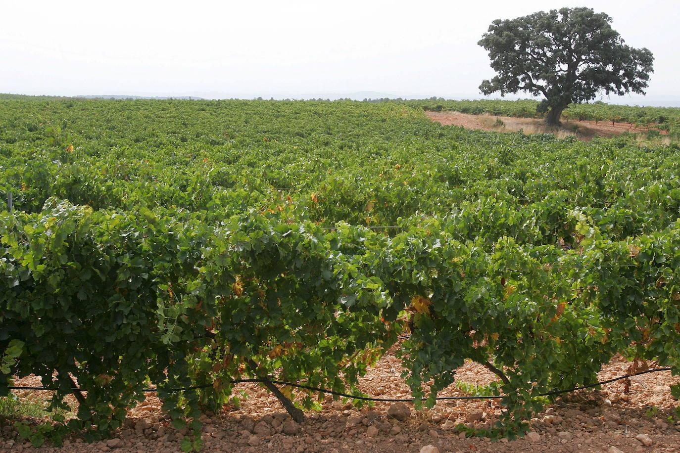 El Gobierno cede a Cataluña el control de las plantaciones de cava en Requena