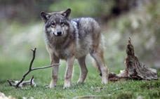 Ofrecen 30.000 euros de recompensa por saber quién mató a un lobo