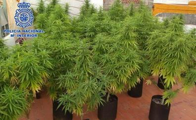 Descubren 250 plantas de marihuana de 3 metros de alto en el jardín de una casa contigua a un colegio de Alicante
