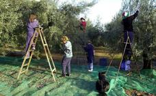 El cultivo intensivo de olivos abarata el aceite