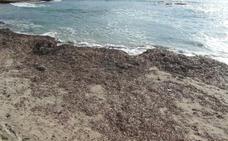 Teulada dejará la posidonia más tiempo en las playas para evitar la pérdida de arena
