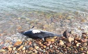 Hallan un delfín muerto en la playa de Sagunto