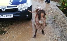 Un policía y un guardia civil rescatan a una cabra de una balsa en Corbera