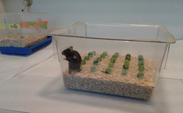 Un ratón, listo para hacer una prueba conductual.