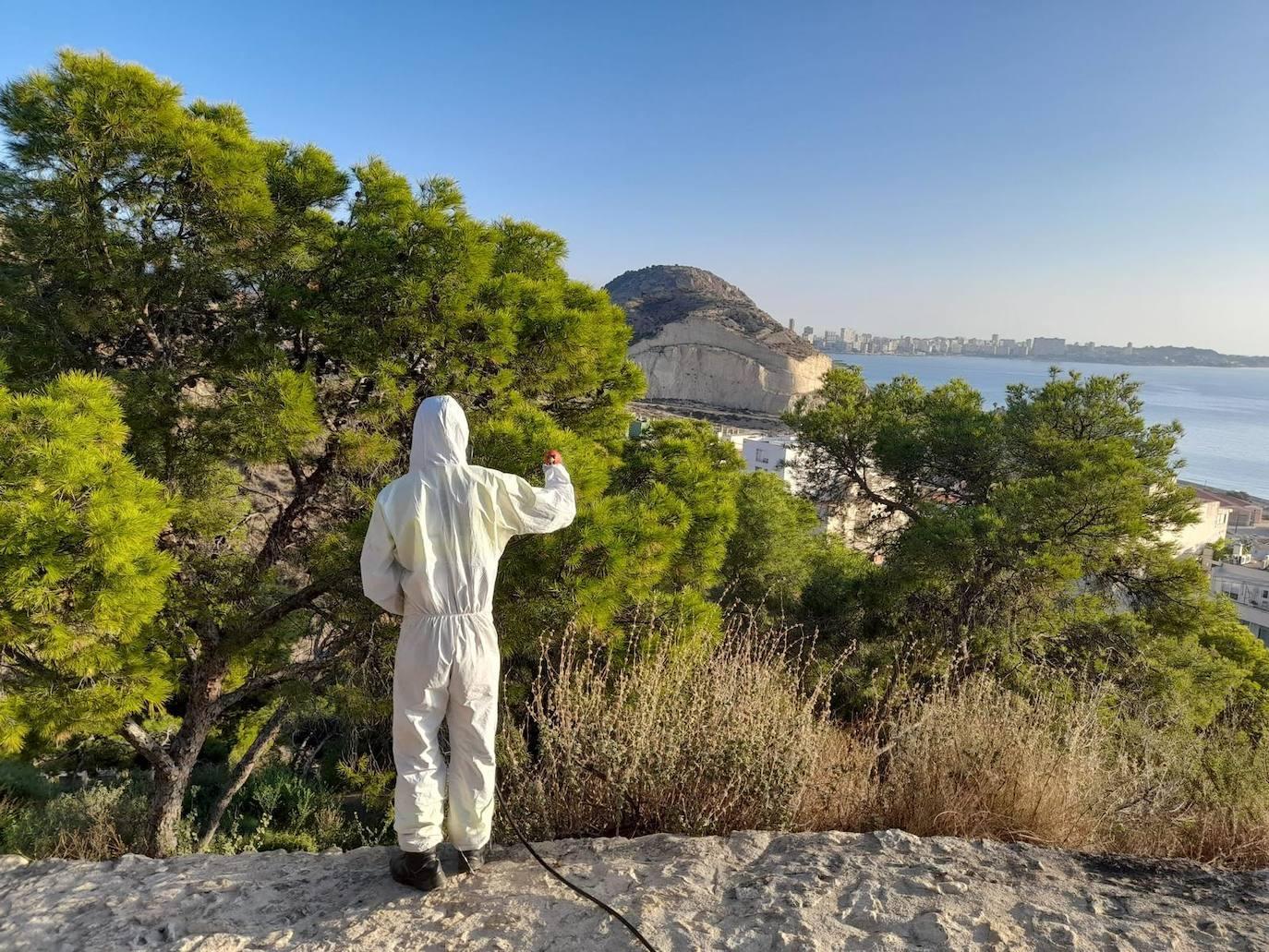Aceleran el tratamiento contra la procesionaria en las pinadas de Alicante